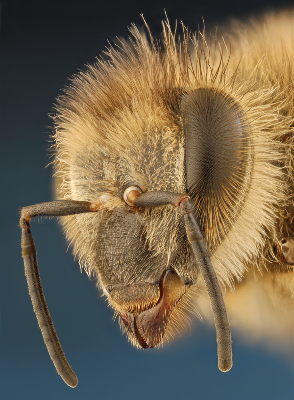 Solving the Mystery of the Vanishing Bees, Scientific American, Diana Cox-Foster and Dennis vanEngelsdorp
