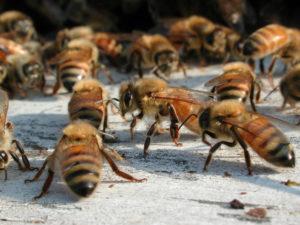 Bees at Ag Farm Credit: Jon Cox