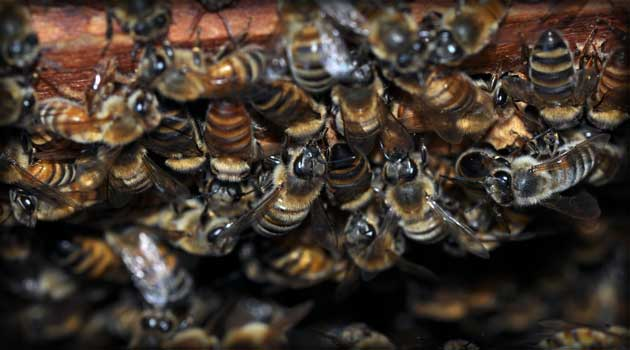 Colony Collapse Disorder (CCD)