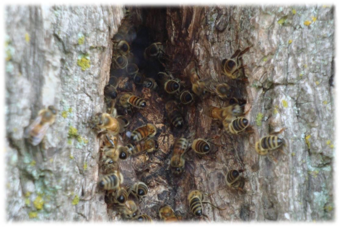 Honey Bee Biology