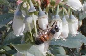 blueberry honey bee