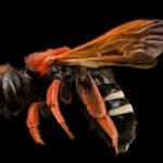 wild bee pic